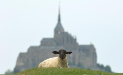 Salt marsh lamb